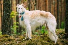 Witte Russische Hond, Barzoi, Jachthond in de Lente royalty-vrije stock afbeeldingen