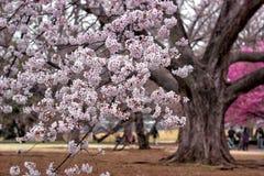 Witte Sakura stock foto's