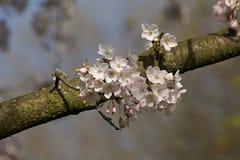 Witte Sakura Stock Afbeelding