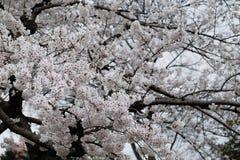 Witte Sakura Stock Afbeeldingen