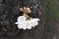 Witte Sakura Royalty-vrije Stock Foto's