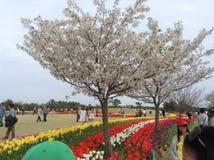 Witte sakura en tulpen Stock Foto's