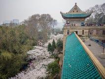 Witte sakurabloem op Wuhan-Universiteit Stock Foto's
