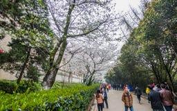 Witte sakurabloem op Wuhan-Universiteit Royalty-vrije Stock Foto's