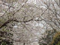 Witte sakurabloem op Wuhan-Universiteit Stock Foto