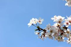 Witte sakurabloesem met blauwe hemel Royalty-vrije Stock Afbeeldingen