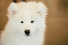 Witte Samoyed-het Jong Dichte Omhooggaand van het Hondpuppy Stock Foto's