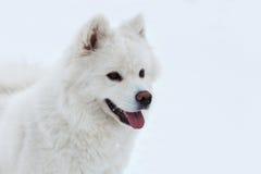 Witte Samoyed-hond op de sneeuwachtergrond Royalty-vrije Stock Foto's