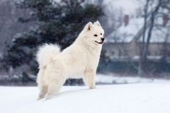 Witte Samoyed-hondgangen in winte Stock Foto