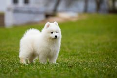 Witte Samoyed-Puppyhond stock foto's