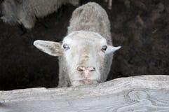 Witte schapen Stock Foto's