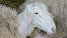Witte schapen stock footage