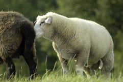 Witte schapen die bij zwart sheep´seinde snuiven Stock Foto's