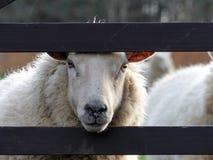 Witte schapen die door houten poort op de lentedag turen royalty-vrije stock afbeeldingen