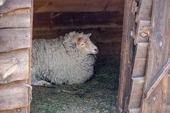 Witte schapen die in houten schuur liggen Leuke ooi met witte wol Het concept van het veelandbouwbedrijf Veeachtergrond royalty-vrije stock afbeeldingen