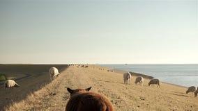 Witte schapen die op de overzeese dijk weiden stock video