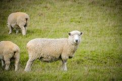 Witte schapen op groen gras in zonnige dag, Nieuw Zeeland stock afbeelding