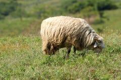 Witte schapen op weide Stock Foto