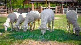 Witte Schapen in Tuinlandbouwbedrijf royalty-vrije stock foto's