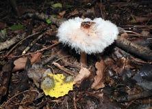 Witte schimmel fruiting organismen op paddestoel, Litouwen royalty-vrije stock foto's