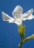 Witte schoonheid II Royalty-vrije Stock Foto's