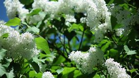 Witte sering met verse groene bladeren op een tak tegen een blauwe hemel stock videobeelden