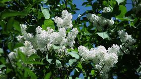 Witte sering met verse groene bladeren op een tak tegen een blauwe hemel stock video