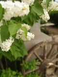Witte seringen in zuidwestelijke tuin Stock Afbeeldingen