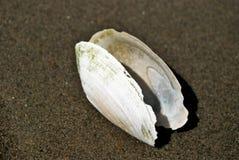 Witte shell Stock Fotografie