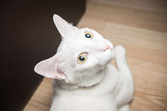 Witte Siamese kat die camera bekijken Stock Afbeeldingen