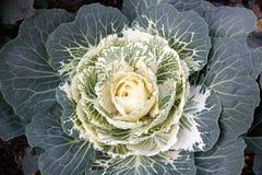 Witte sierkool Stock Fotografie