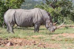 Witte simum van rinocerosceratotherium Stock Foto