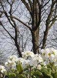 Witte sleutelbloembloemen Royalty-vrije Stock Foto's