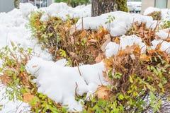 Witte sneeuw op boombladeren stock afbeeldingen