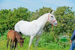 Witte Spaanse merrie met haar veulen het stellen tegen mandarijnboom andalusia spanje royalty-vrije stock foto's