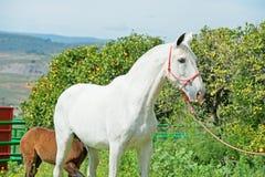 Witte Spaanse merrie met haar veulen het stellen tegen mandarijnboom andalusia spanje royalty-vrije stock afbeelding