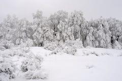 Witte spar in wintertijd Stock Foto's