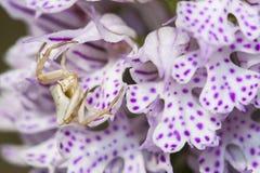 Witte Spin die op prooi op tridentata van orchideeneotinea wachten royalty-vrije stock fotografie