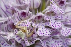 Witte Spin die op prooi op tridentata van orchideeneotinea wachten stock afbeelding