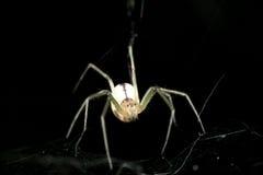 Witte spin in het Web op een zwarte achtergrond Stock Afbeeldingen
