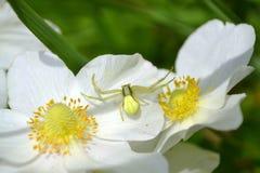 Witte spin op witte bloemen stock foto