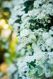 Witte spiraea Royalty-vrije Stock Foto's