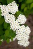 Witte Spirea Royalty-vrije Stock Foto's