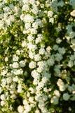 Witte Spirea Royalty-vrije Stock Foto
