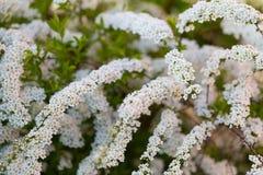 Witte spirea die in mooie haag bloeien Stock Foto