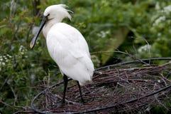 Witte spoonbill op aardgebied royalty-vrije stock fotografie