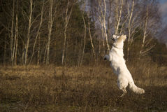 Witte springende herder Royalty-vrije Stock Foto's