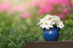 Witte springflower in een blauwe claypot Stock Afbeeldingen