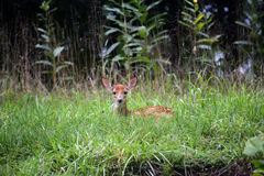 Witte staart fawn stock foto's