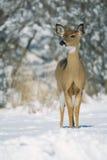 Witte staartdamhinde in sneeuw Stock Foto's